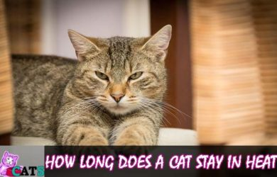 How Long Does a Cat Stay in heat