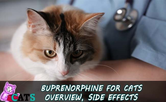 Buprenorphine for Cats Overview, Side effects