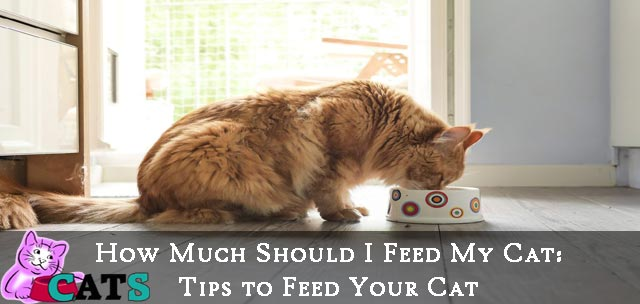 How Much Should I feed my Cat