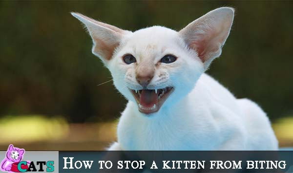 How to stop a kitten from biting