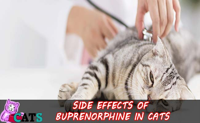 Side effects of Buprenorphine in Cats