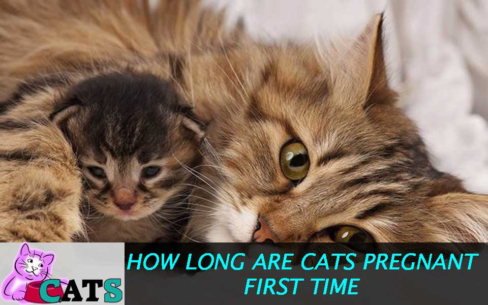 How long are Cats Pregnant First time