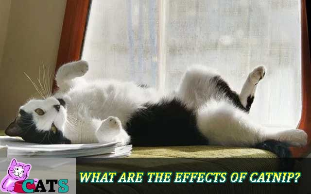 What are the effects of Catnip