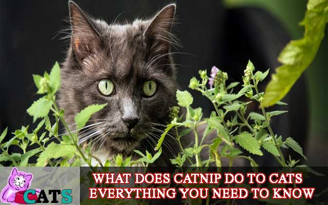 What does Catnip do to Cats