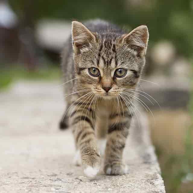 average lifespan of a cat