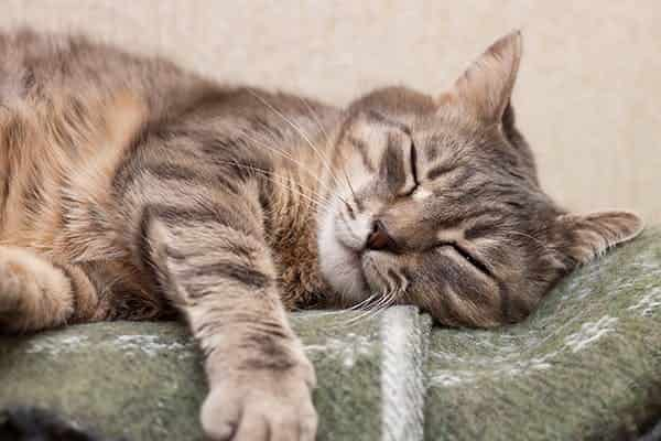 buprenorphine cats