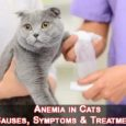 Anemia in Cats