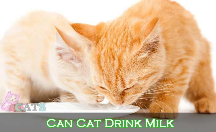 Can Cat Drink Milk