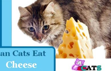 Can cats eats cheese