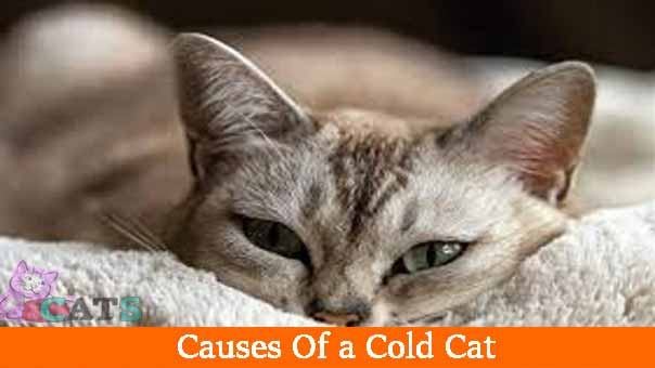 Causes Of a Cold Cat
