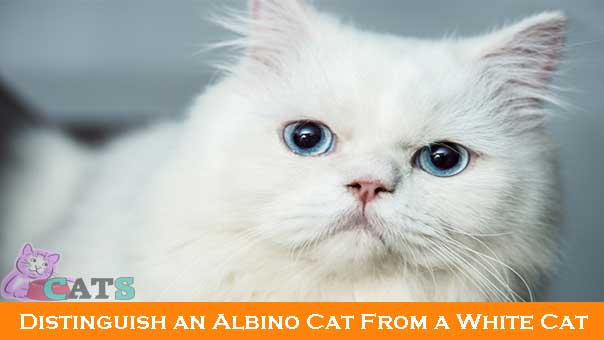 Albino Cat From a White Cat