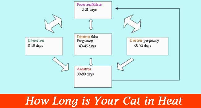 How Long is Your Cat in Heat