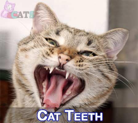 How Many Teeth Do Cats Have