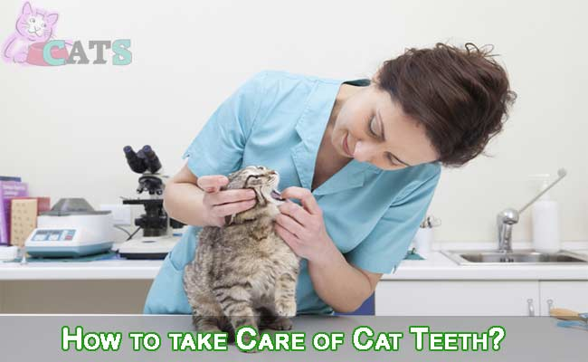 How to take Care of Cat Teeth