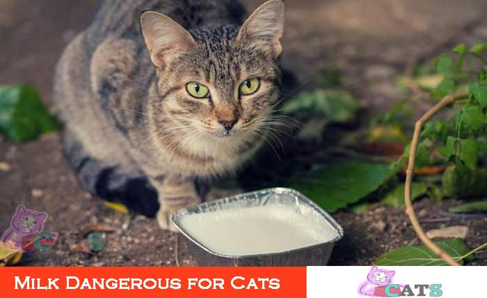 Milk Dangerous for Cats