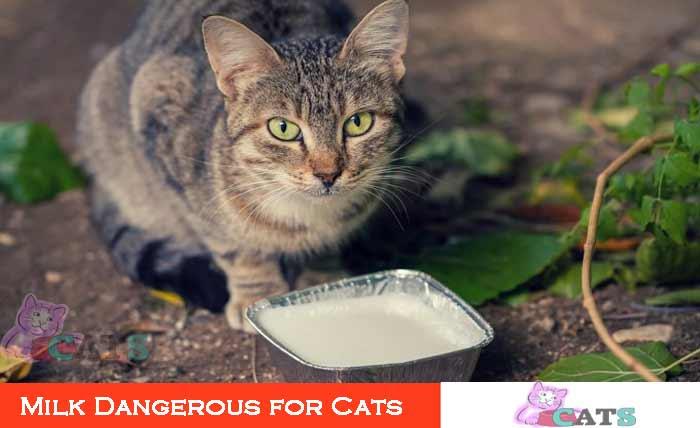 Milk Dangerous for Cats