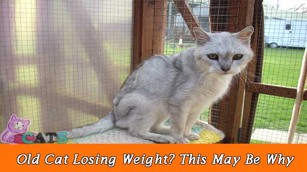 Old Cat Losing Weight