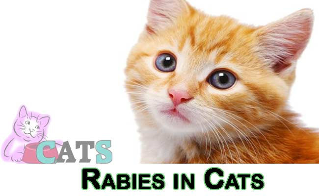 Rabies in Cats