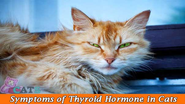 Symptoms of Excess Thyroid hormone in Cats
