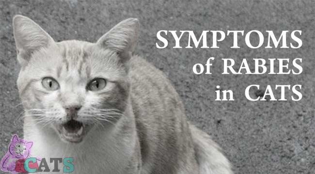Symptoms of feline Rabies