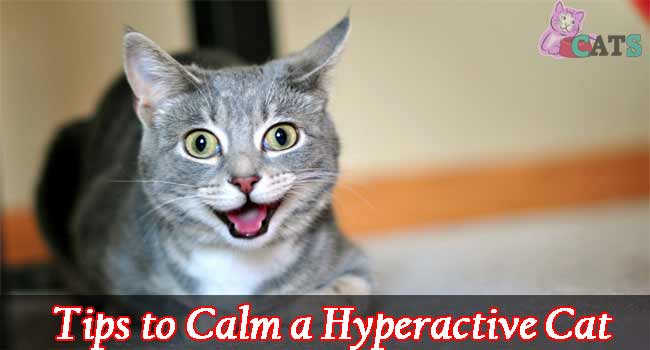 Tips to Calm a Hyperactive Cat