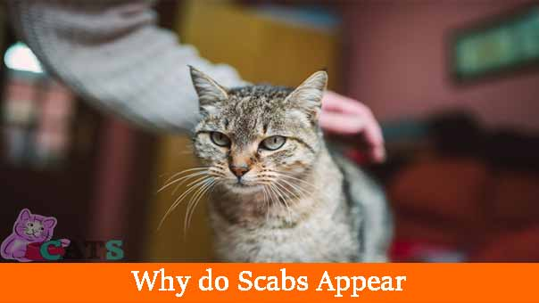 Scabs on Cat - My Cat has Scabs What's Wrong? - Catsfud