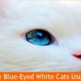 Blue Eyed Cats