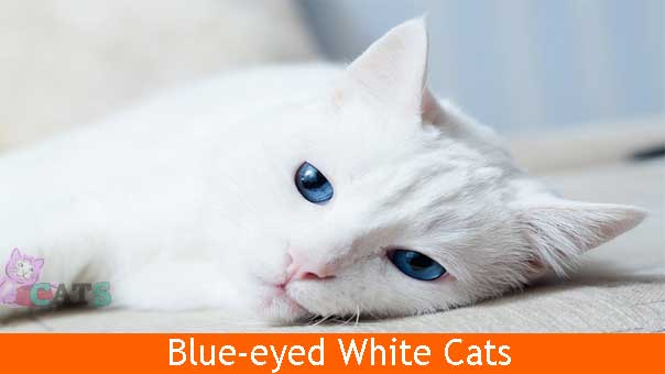 Blue-eyed White Cats