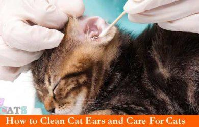 Clean Cat Ears