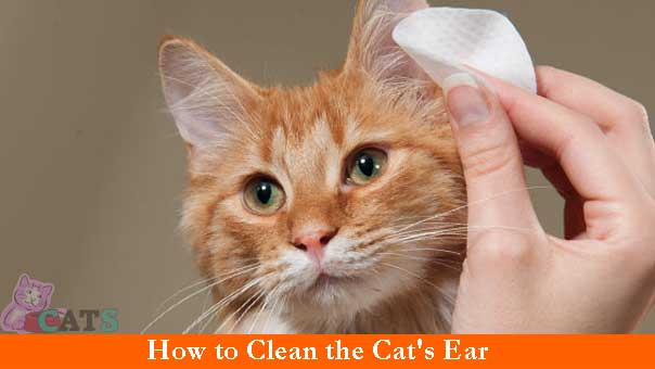 How to Clean the Cat's Ear