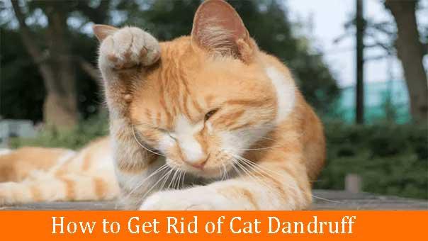 Rid of Cat Dandruff