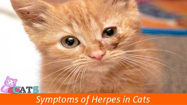 Symptoms of Herpes in Cats