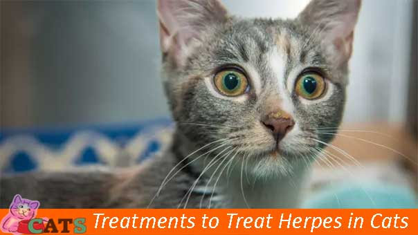 Treatments to Treat Herpes in Cats