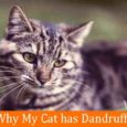 Why My Cat has Dandruff