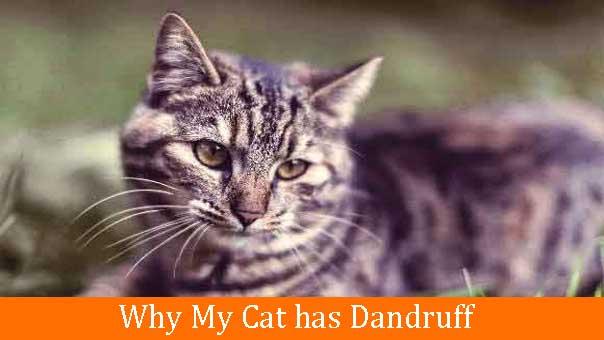 Why My Cat has Dandruff