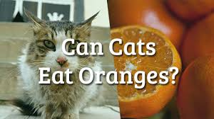 can cats eat oranges