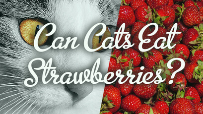 can cats eat strawberries