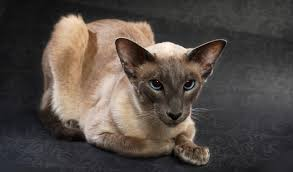 BALINESE CATS