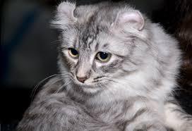 Gato american curl cat