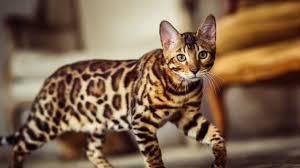 Gato Cheetoh Cat