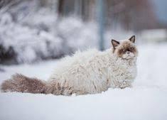 Gato laperm cat