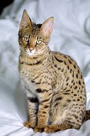 Gato savannah cat