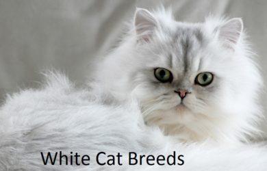 white cat breeds