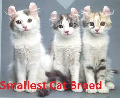 Smallest Cat Breed