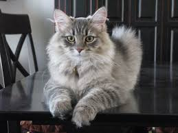 Forest cat of Siberia