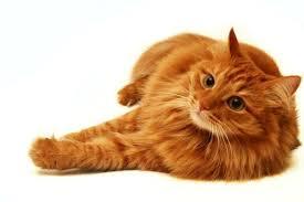 tabby cats orange