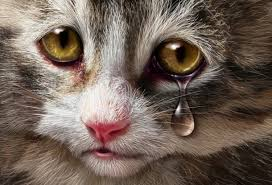 why-do-cats-cry