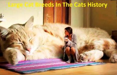 Large cat breeds