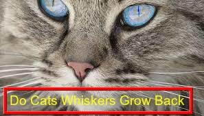 Do cats whiskers grow back