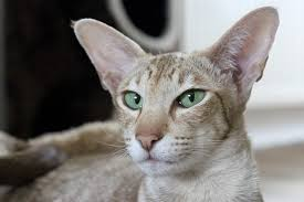 Oriental Shorthair Cat